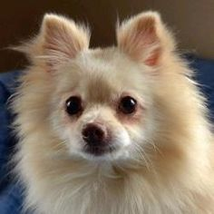 Sugar is an adoptable Pomeranian Dog in Auburn, NE. This little beauty was brought to the shelter after her elderly owner passed away. Relatives had brought her to their home, but the other dog there ...