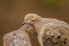 Paloma torcaz,cariñosas                   Dove Love by Jon Rista on 500px