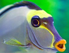 Venomous Naso Surgeonfish