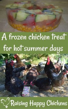 Chickens don't deal well with excessive heat. It's your responsibility as a chicken owner to help them keep as cool as possible. Here's a recipe for a frozen treat which will keep your flock hydrated and cool in the summer sun.