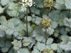 Acaena buchananii (Stekelnootje)  Acaena buchananii is een bodembedekkende vaste plant met kleine grijsgroene gekartelde blaadjes. Op de foto is stekelnootje gebruikt in combinatie met sieruien en een roodbladige Japanse esdoorn. Het blad van Acaena buchananii blijft redelijk wintergroen. Acaena buchananii heeft een hoogte van ongeveer 5 cm. De bloemetjes van het stekelnootje vallen minder op dan de stekelige vruchtjes in de nazomer.