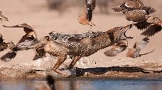 A black backed jackal hunts birds in the Kgalagadi Transfrontier park, South Africa