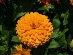 A legkönnyebben nevelhető virágok közé tartozik, amelynek díszítési értékén túl számos gyógyászati haszna is van. Bemutatjuk a legfontosabb tudnivalókat....