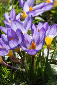 Crocus - Remembrance - Big, purple-mauve flowers with a beautiful silhouette, appear from late winter on slender stems. These arise from the clumps of white-striped, green foliage, which provides a nice contrast and remains interesting after the flowers have faded. Useful for creating a blast of seasonal colour when little else is in bloom, they can be planted in pots, windowboxes or allowed to naturalise in the border or lawn.