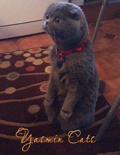 disi-scottish-fold-yavru-ke.jpg - #scottishfoldkittens -Tops Scottish Fold Cat Breeds at Catsincare.com!