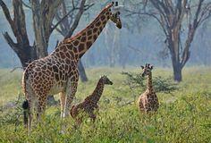 Giraffes in lake nakuru day trip, click here: http://1-day-tours-in-kenya.com/blog/84-nakuru-national-park-2-day-trip.html