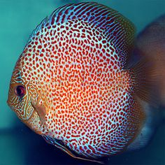 Red Map Discus Blue diamond, blue turquoise
