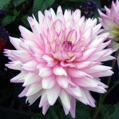 Dahlia 'XXL Vera Cruz', description container dahlia with good branching ...