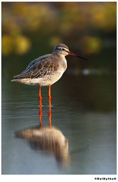 The Common Redshank or simply Redshank is an Eurasian wader in the large family Scolopacidae. | Flickr - Photo Sharing!