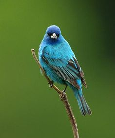 Indigo Bunting...I've been lucky enough to see one a couple of times.