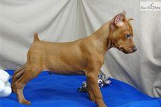 miniature pinscher puppies | Pictures