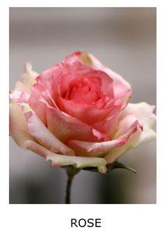Sugar Rose | Giovanna Smith