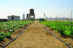 Brooklyn Grange rooftop farm, New York City