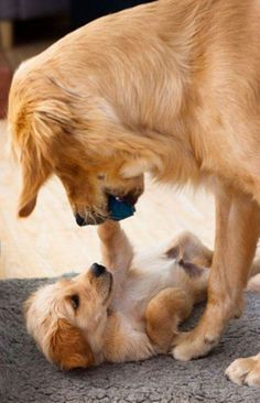 BOOP! <3 #DogMom #DogDad #Dogs #Dog #DogLover #Puppy #Parenting