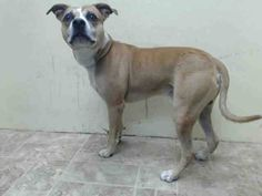 TO BE DESTROYED - 10/08/14 Brooklyn Center   My name is BRONCO. My Animal ID # is A1015163. I am a male tan and white pit bull mix. The shelter thinks I am about 3 YEARS old.  I came in the shelter as a STRAY on 09/24/2014 from NY 11691, owner surrender reason stated was STRAY.