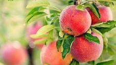 obrázek z archivu ireceptar.cz Cherry Tree Varieties, Plum Varieties, Vitamin B12, Honeycrisp Apple Tree, Apple Cider Vinegar Supplements, Apple Help, Hummingbird Garden, Peach Trees, Sweet Cherries