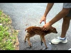 This tiny baby deer approaches him, but he wasn't expecting THIS to Happen ! Cute Puppy Videos, Funny Animal Videos, Baby Animals, Funny Animals, Cute Animals, Okapi, Deer Family, Baby Deer, Zebras