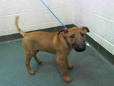 SAFE --- PUPPY in Miami Kill Shelter GEORGIE  (A1583223) I am a male brown Bull Terrier.   The shelter staff think I am about 13 weeks old.   I was found as a stray and I may be available for adoption on 12/30/2013 https://www.facebook.com/photo.php?fbid=690342021000204&set=a.470960256271716.114441.191859757515102&type=3&theater