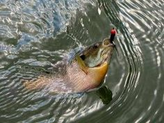 Best seasonal locations for bluegill fishing on your lake or reservoir. Learn to find bluegill and what baits and lures will catch them.