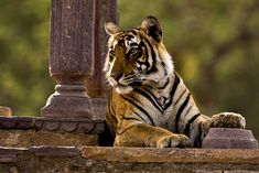 Wild royal bengal tiger sitting in an ancient cenotaph or palace or temple in Ranthambhore tiger reserve in India - Stock Image Siberian Tiger, Bengal Tiger, Tiger Tiger, Tiger Cubs, Bear Cubs, Top 10 National Parks, Animals And Pets, Cute Animals, Wild Animals