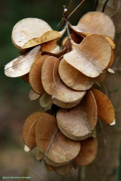 Dioscorea transversa Seed Pods by Black Diamond Images