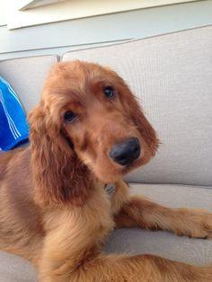 Murphy -another sweet Irish Setter puppy