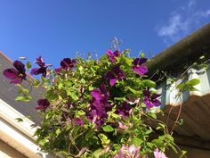 Clematis Jackmanii And Margaret Hunt Growing Together On Shed Steel Support Covered With Wire.