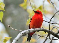 All sizes | Scarlet Tanager, via Flickr.