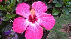 Hibiscus -pink