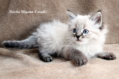 Kiki our sweet Siberian Forest Cat Seal Lynx Point colorpoint hypoallergenic kitten