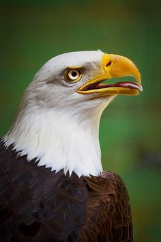 Photograph Bald Eagles in Alaska