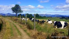 Pastoral scene on day four of the Camino Primitivo. This was shot at the high point of the day, near La Guardia in Asturias, Spain.