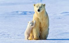 General 1920x1200 polar bears animals snow ice baby animals