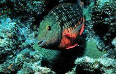 Beautiful stoplight parrotfish