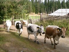 """Fjäll cattle (Swedish: Fjällko), commonly known as the """"Swedish mountain breed"""", is a breed of cattle, established in the late 19th century. In 1998, there was estimated to be 1000 breeding cows in Sweden"""
