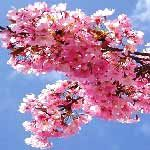 Image of Pink Cherry-Blossoms