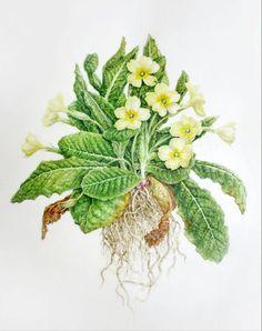 Primula vulgaris Dianne Sutherland