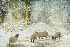 sheep in the snow by Lyn Evans