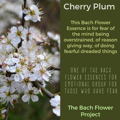 Bach Flower Remedy - CHERRY PLUM