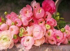 Ranunculus (Persian Buttercup) - used these in my wedding bouquet. My Flower, Vintage Flowers, Pink Flowers, Beautiful Flowers, Pink Peonies, Cut Flowers, Pink Roses, Cactus Flower, Tea Roses