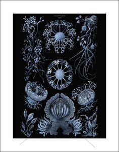 Ernst Haeckel Prints on Black - theoldfern