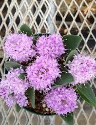 polyxena ensifolia - Google'da Ara