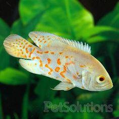 Albino tiger cichild fresh water fish http www for Semi aggressive fish