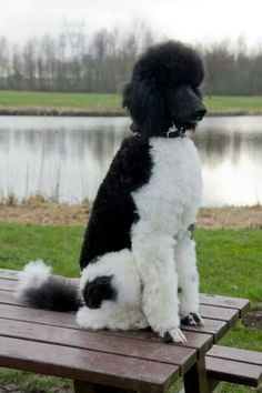 Wauw! #poodle