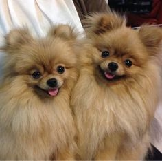 Things we admire about the Bold Pomeranian Puppy Find Out More On Inquisitive Pomeranian Puppies Cute Puppies, Cute Dogs, Dogs And Puppies, Doggies, Animals And Pets, Baby Animals, Cute Animals, Beautiful Dogs, Animals Beautiful