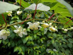 Актинидия полигамная: ягода со вкусом… перца