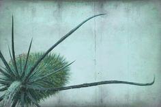 wild teasel  by Iris Lehnhardt