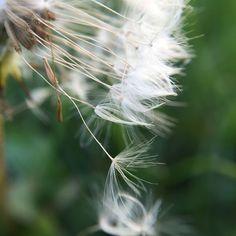 Hanger-on. #macro #olloclip #olloclipmacro #weeklymobilemacro #flower
