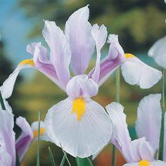 Dutch Iris Carmen Beauty