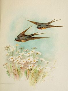 Printable ~ Colored Illustration, Swallows and Daisies, 1887